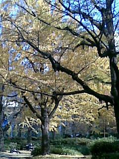 Ginkgo in Hibiya Park