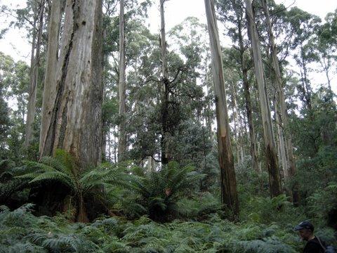 Tall timber on Mt Tanglefoot